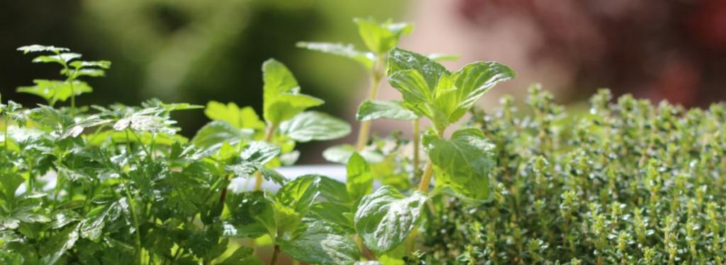 Spices and herbs, the best ones for growing