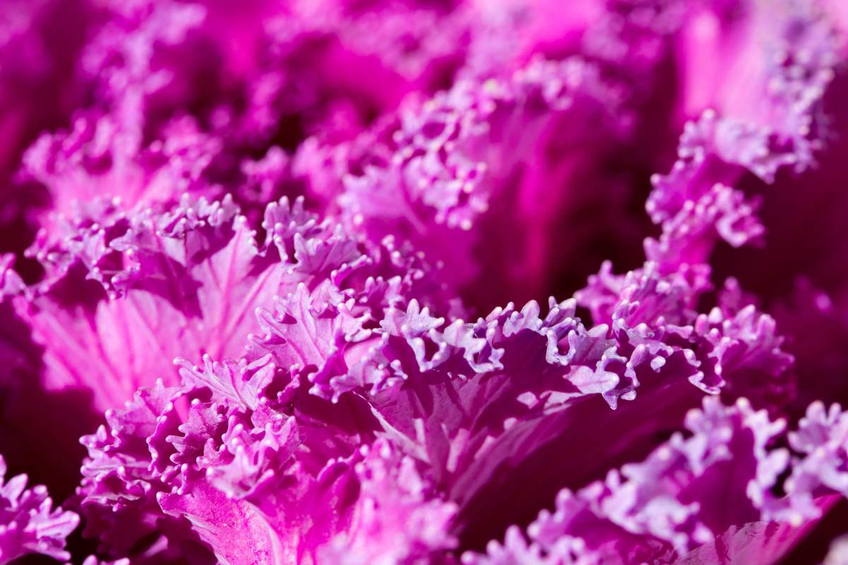 Deep purple ornamental cabbage