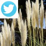 Picture related to Pampas grass overlaid with the