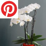 Picture related to Phalaenopsis orchid overlaid with the