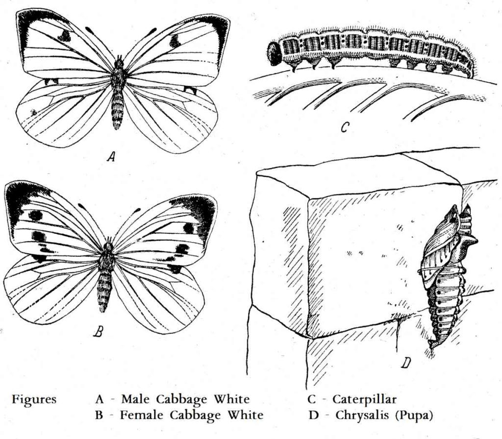 Different stages of Cabbage butterfly: caterpillar, chrsyalis pupa and adults.