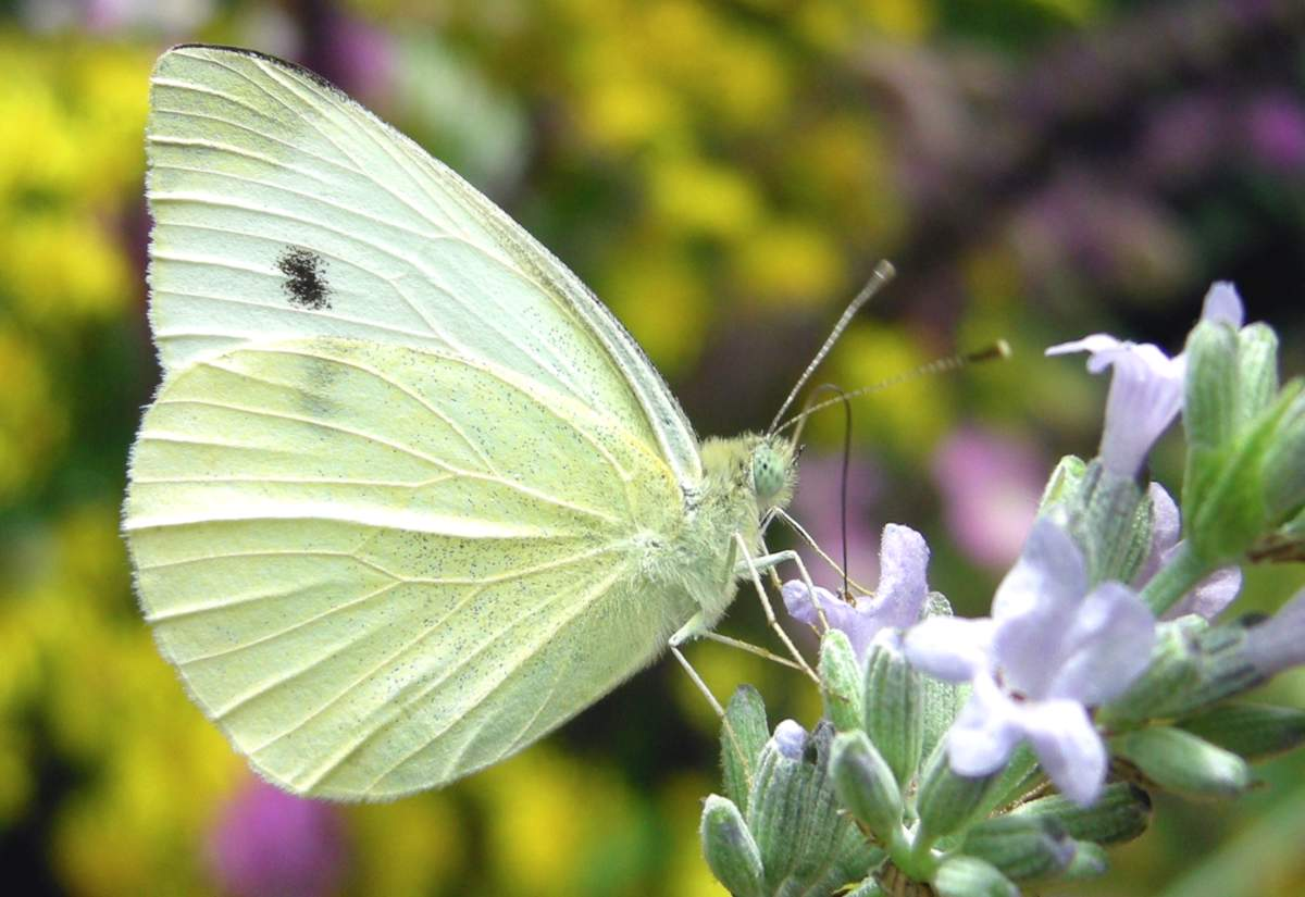 Male Cabbage White butterfly on lavender flower