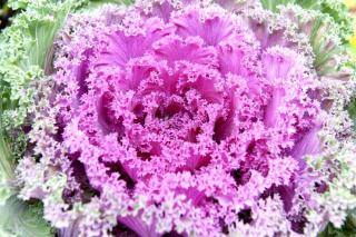 Pink-centered and pale green outer leaves on ornamental cabbage