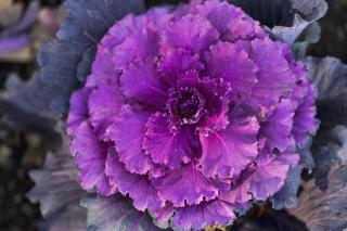 Deep purple color of decorative cabbage leaves
