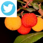 Picture related to Strawberry tree overlaid with the