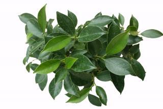 Ficus retusa foliage