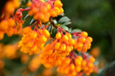 Berberis evergreen hedge shrub blooming