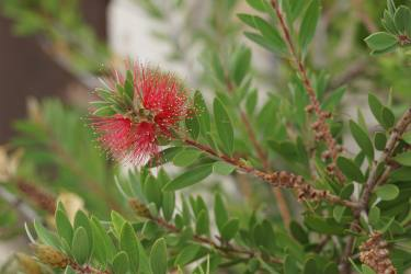 Bottlebrush flowers with evergreen leafage