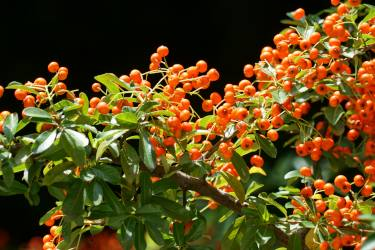 Fire thorn, pyracantha with fruit on an evergreen hedge