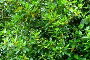 Laurestine leaves stay green in winter, ideal for privacy hedges