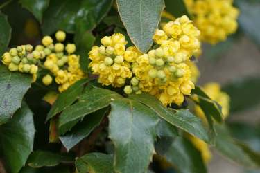 Mahonia evergreen leaves with fresh blooms