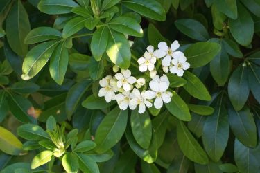 Mexican Orange, triple evergreen leaves with white flowers