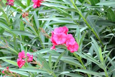 Oleander, a hedge shrub with evergreen leaves