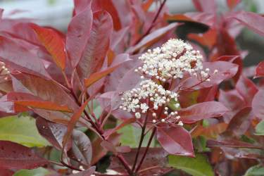 Photinia, an evergreen hedge shrub with red leaves