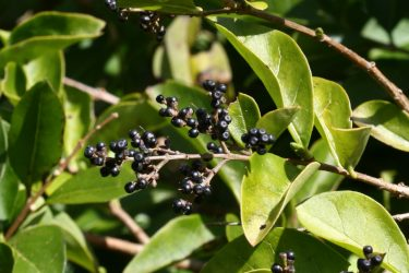 wild privet green winter leaves with fruits
