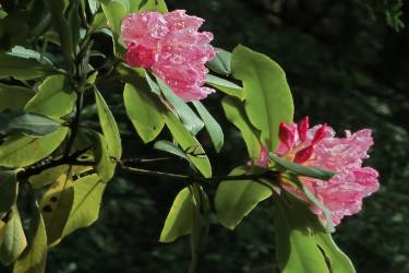 rhododendron flowers with evergreen leafage