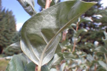 Eleagnus leaf showing a silver-colored evergreen underside