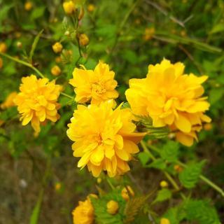 Kerria is also an alternative to invasive broom shrubs