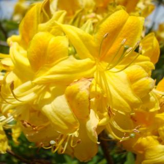 Yellow cover of flowers for this azalea that's ideal to replace invasive french and scotch broom