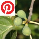 Picture related to Ficus carica overlaid with the