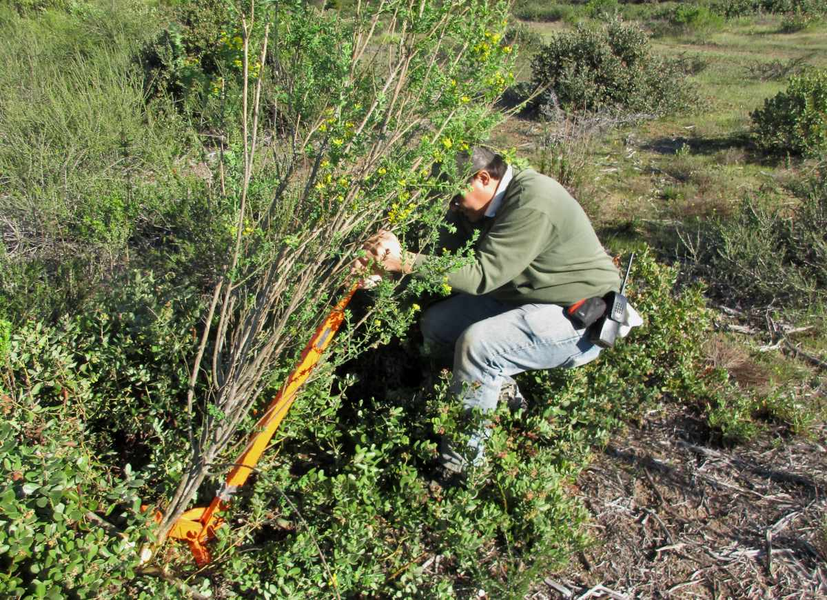 French Broom being pulled out to control this invasive plant out of its native range.