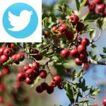 Picture related to Health benefits of hawthorn overlaid with the