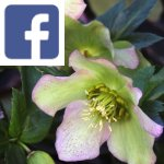 Picture related to Hellebore overlaid with the