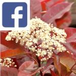 Picture related to Photinia overlaid with the