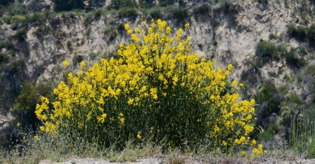 Clump of scotch broom only a few years old