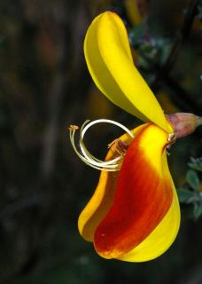 Rare red and yellow scotch broom flower