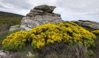 Clump of invasive scotch broom, here in its native range