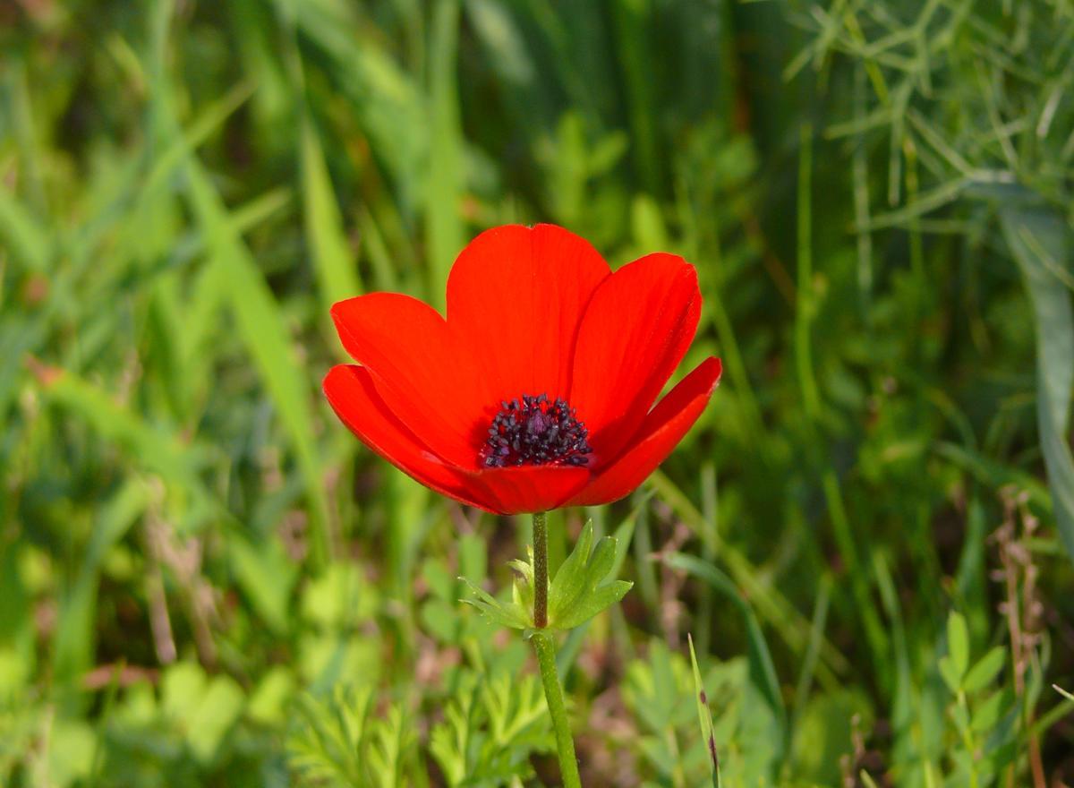 Single red poppy anemone in field