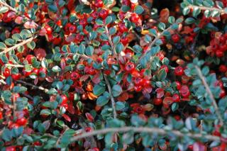 Red berries, green leaves of cotoneaster growing in the shade