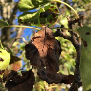 Symptoms of fire blight include red, dry leaves