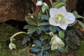 Hellebore is a famous flower for shade