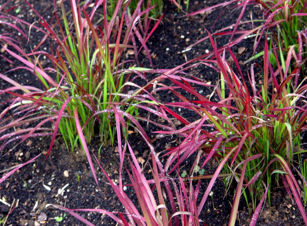 Young imperata cylindrica shoots