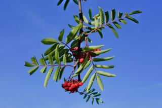 Rowan tree leaves and berries against a blue sky