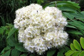 Blooming white flower cluster of the sorbus mountain ash rowan tree
