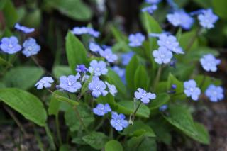 Blue flowered omphalodes in a shade portion of the garden