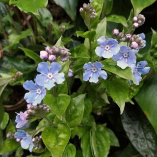 Care for Omphalodes cappadocica is simple