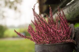Shade plants like heather don't need sun