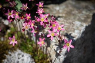 Saxifrage plants and flowers in the shade