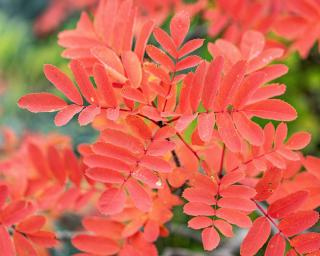 Leaves of rowan mountain ash in autumn are beautiful