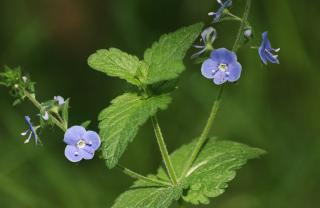 Beautiful Veronica flower and leaf close up
