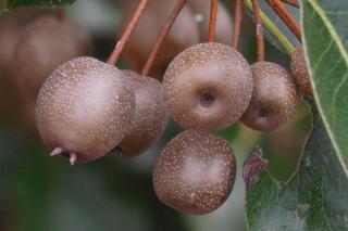 Bradford pear fruits attract birds