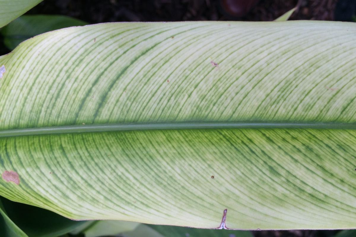 Chlorosis on leaves of a bird-of-paradise plant