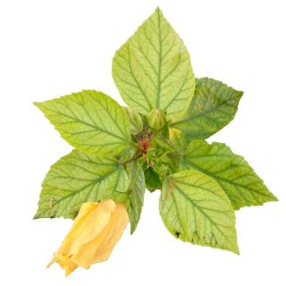Cutout of hibiscus leaves showing signs of chlorosis