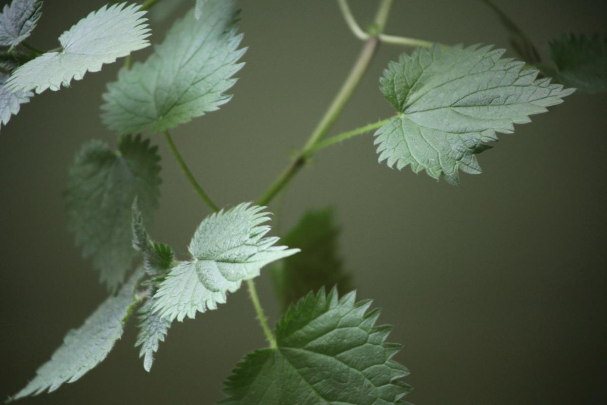 Stinging nettle leaves help fertilize and protect tomato plants
