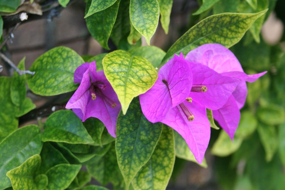 Iron chlorosis can occur in the tropics, like on this bougainvillea