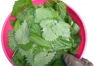 Nettle leaves in a bowl